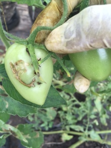 Unripe tuta affected tomatoes